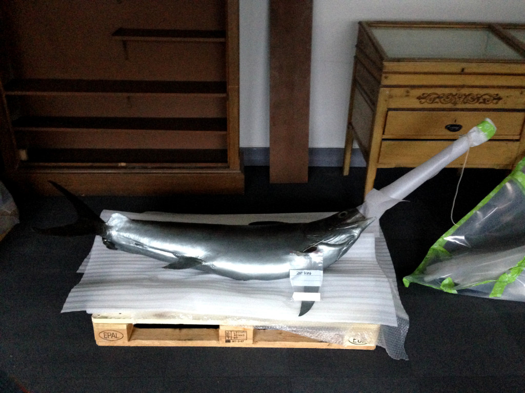 Light weight model of swordfish got carried down the stairs